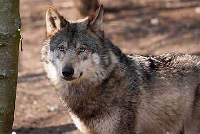 Wolf California Wolves Gray Takepart Protections