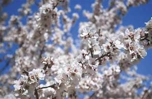 Zweige Weiß Ansprühen : udo frank f1 online mandelbl ten bl te mandeln fr hling baum mandelbaum bl hend bl ten ~ Orissabook.com Haus und Dekorationen