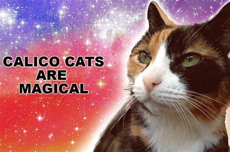 cats calico why crazy buzzfeed reasons