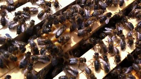 foto de Ruche malade Maladie de l'abeille noire 10 mars 2013