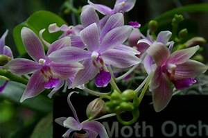 The Orchid House  Orchids  Classification   Monopodial