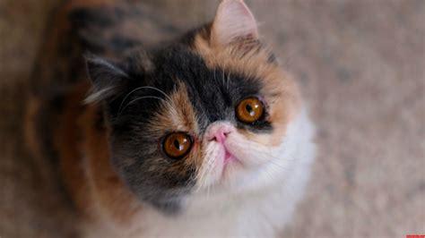 Cute Flat Face Cats
