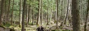 Forest dominated by coniferous trees | Filière mycologique ...