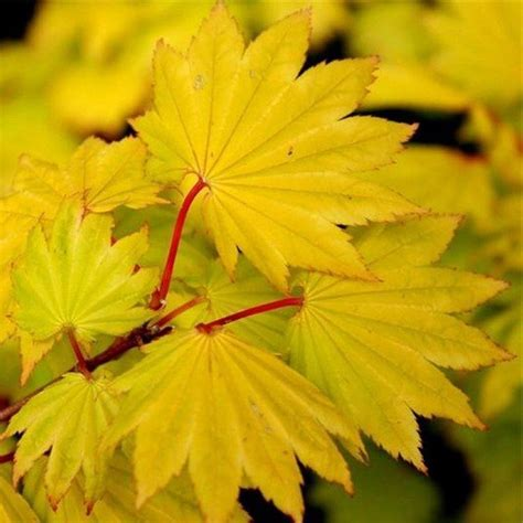 Acer shirasawanum 'Aureum'   Golden leaf Full Moon