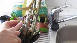 Bambus Zurückschneiden Frühjahr : video orchideenableger einpflanzen anleitung ~ Whattoseeinmadrid.com Haus und Dekorationen