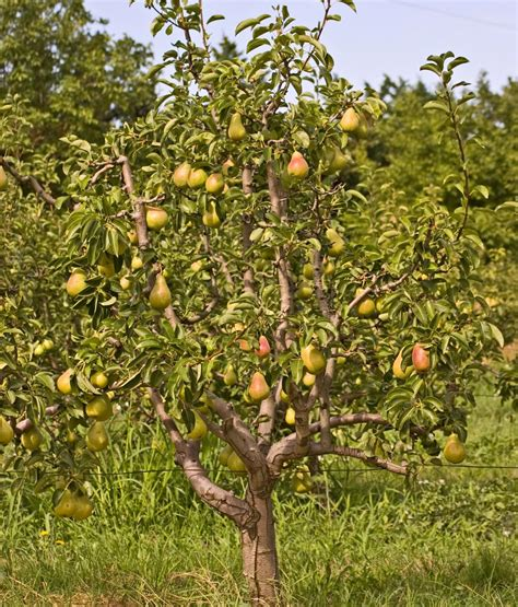 Flowering Varieties Of Pear Trees You'll Want For Your Garden
