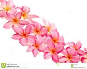 plumeria flowers pink frangipani for border royalty free stock photos