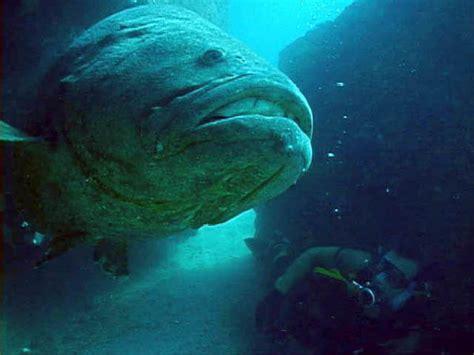 jewfish grouper goliath fish