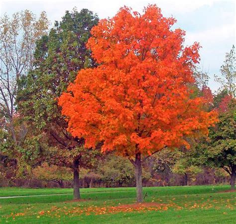 what type of maple tree do i rhode island state tree bing images