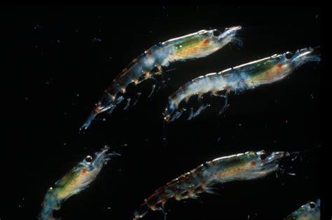 cuisines habitat climate change could cause decline in antarctic krill habitat