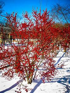 winterberry shrubs for sale the tree center