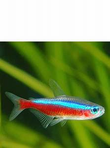 Find out how to care for your Cardinal Tetra fish