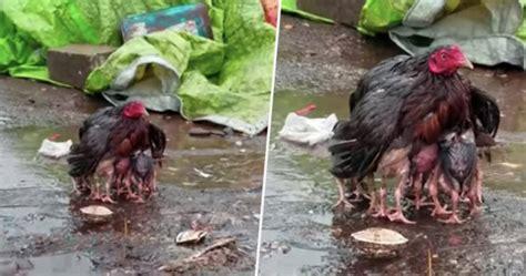 Turkey Hen Protecting Chicks From Rain