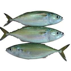 indian mackerel suppliers manufacturers traders  india