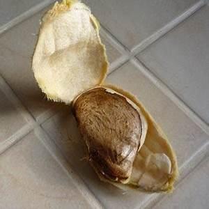 Planter Noyau Mangue : mangue manguier ~ Melissatoandfro.com Idées de Décoration