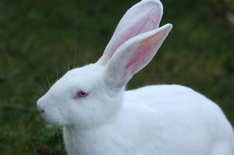 rabbit white ears big humane  photo  pixabay