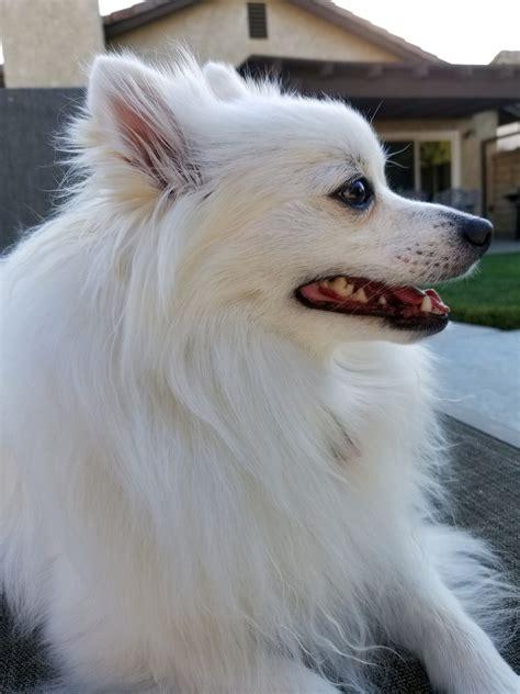 White Pomeranian Dog Free Stock Photo - Public Domain Pictures