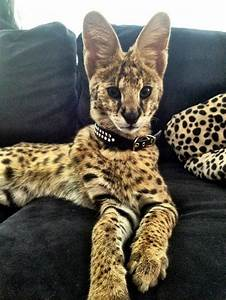 What Is a Serval Cats | Exotic Pet Of The Day! - Serval ...
