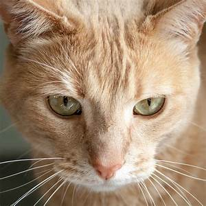 Head, Of, Ginger, Tabby, Cat, With, Green, Yellow, Eyes, Stock