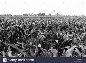 cornfield farm agriculture black white color Stock Photo ...