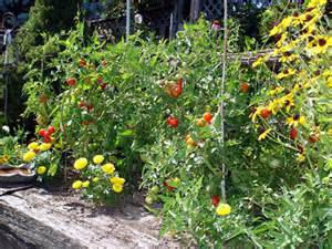 tomatoes in the garden tomato garden jeanie rhoades thought collage