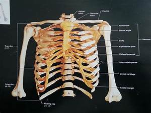 bones of the vertebral column and thoracic cage - StudyBlue