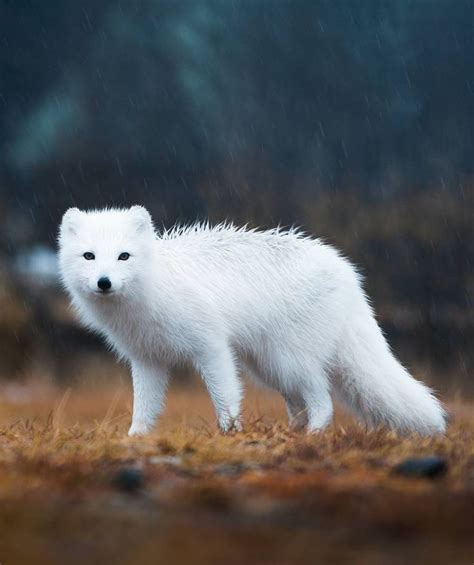 17 best ideas about arctic fox on white fox