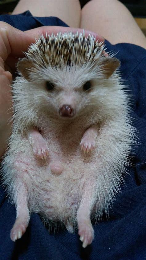 ways  care   hedgehog  wobbly hedgehog syndrome