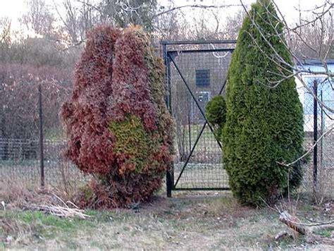 warum werden thujas braun tote thuja ein pilz opfer das wilde gartenblog