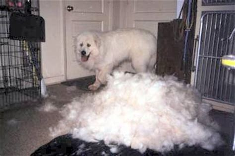great pyrenees excessive shedding is a pyr for me