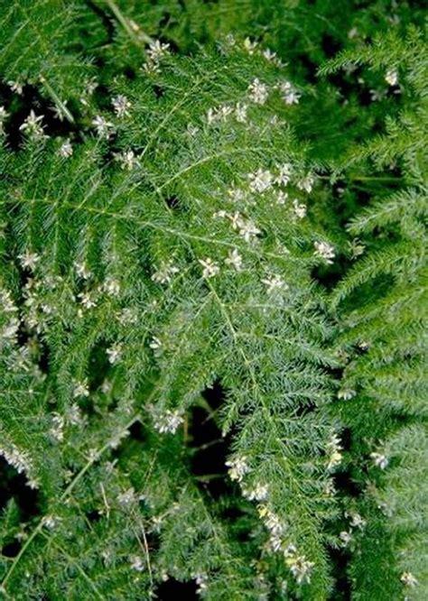 plants flowers 187 asparagus fern