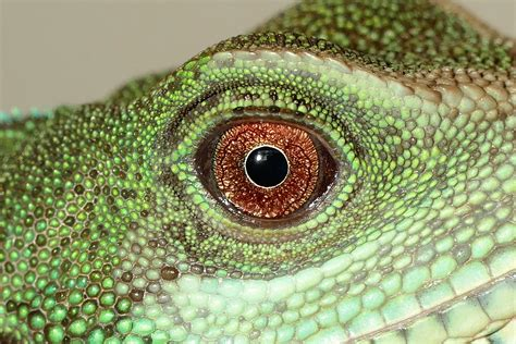 reptile eye  stock photo public domain pictures