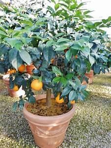 Kübelpflanzen Für Schatten : k belpflanzen kaufen schatten sonne pflanzenshop k belpflanze ~ Eleganceandgraceweddings.com Haus und Dekorationen