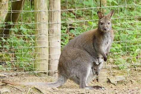 eifelpark gondorf babyboom bei wallaby kaengurus und
