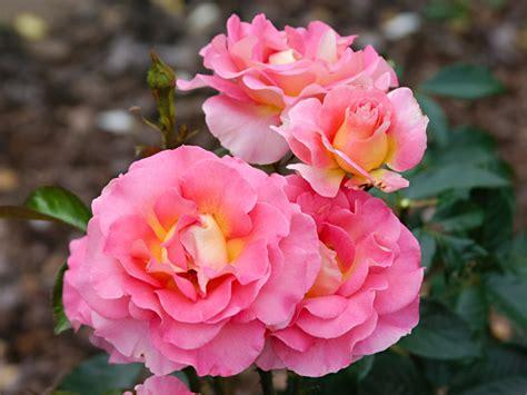die sch 246 nsten rosensorten f 252 r ihren garten zuhausewohnen