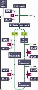 Bbc Bitesize - Higher Biology - Cellular Respiration