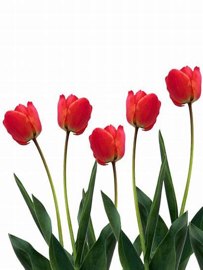 Tulip Bulb Tulips Palmers Flowers Planting Colours