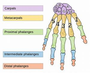 File:Human left hand bones with metacarpal numbers and ...