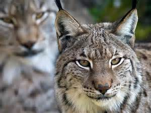 lynx cats missing lynx cat is on brink of extinction study says