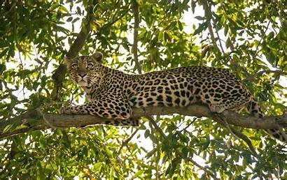 Leopard Wallpapers Leopards Desktop Awesome Trees Animal