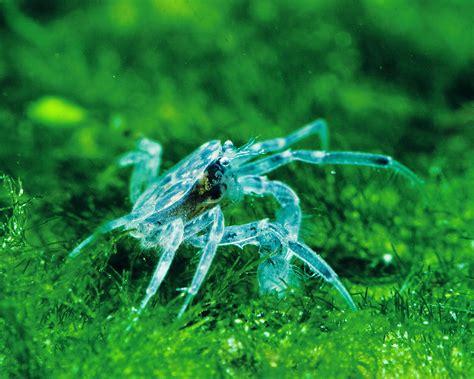 microkrabbe limnopilos naiyanetri aquarium krabben