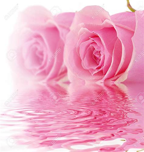 Pink Roses Background Pink White Background Wallpapersafari