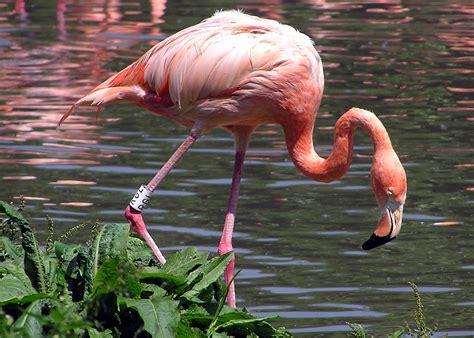 sujith spot flamingo colourful bird