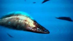 Walking With Monsters Haikouichthys attack Anomalocaris ...
