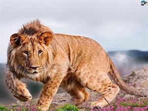 Free Download Lions HD Wallpaper #40