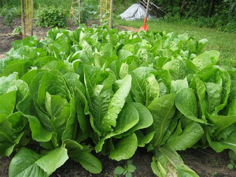 pictures of lettuce growing thrifty thinking regrowing veggies kitchen gardening the geeky parent