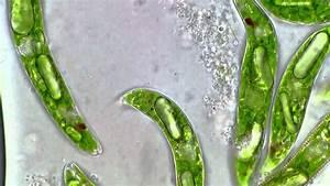Paramylon Bodies Inside Of Euglena