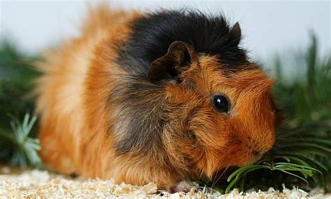 Top 14 Different Types Of Guinea Pig Breeds