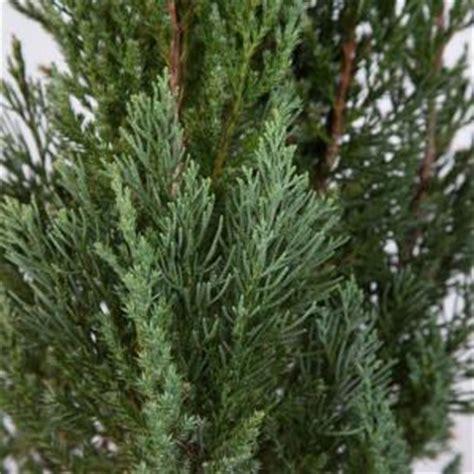 gal blue point juniper  evergreen shrubtree