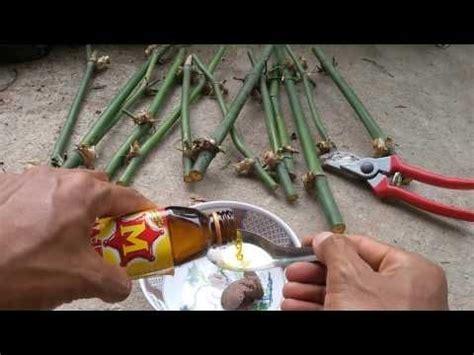 สุดง่ายกับสูตรปักชำไผ่กิมซุงเร่งรากเร่งยอด(ไผ่ตงลืมแล้ง ...